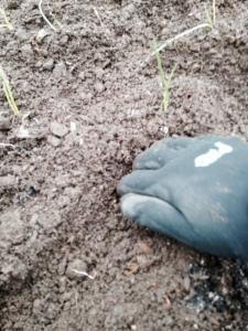 Digging a trough