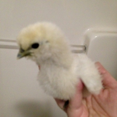 Silkie - this one is huge compared to the other. Maybe a roo?
