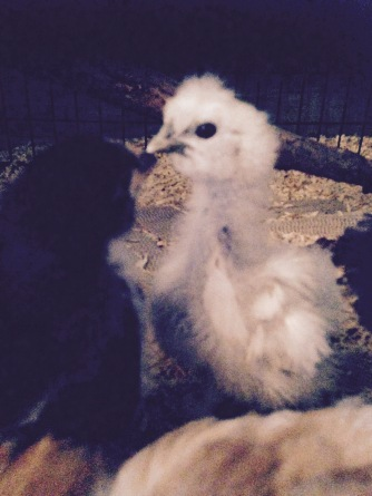A very awkward looking Silkie - this one is nearly twice the size of the other Silkie so we are thinking it may be a roo.